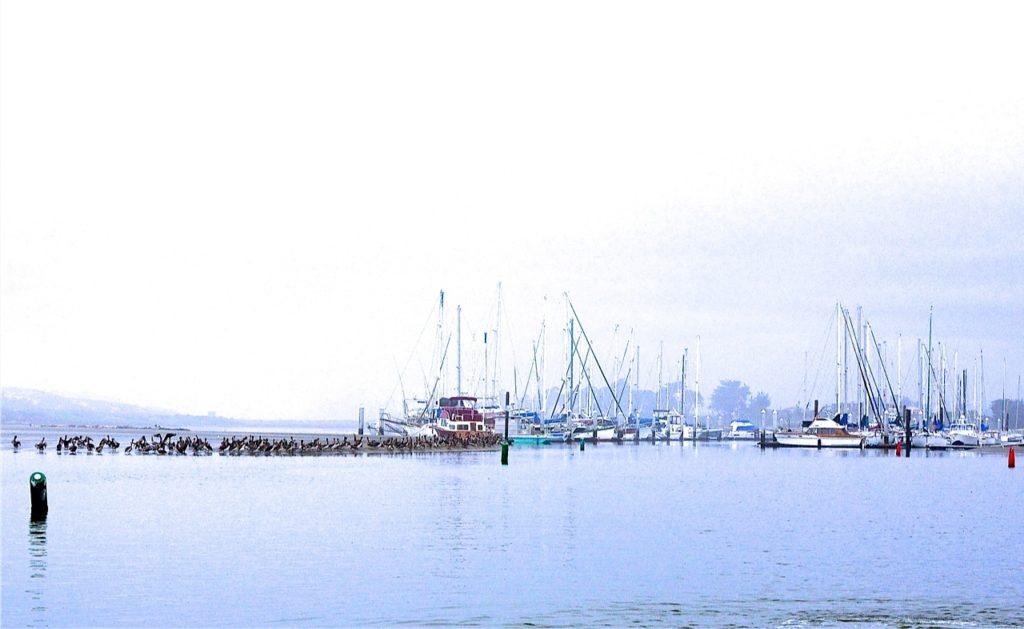 Brown Pelicans Tour Of Newport Harbor
